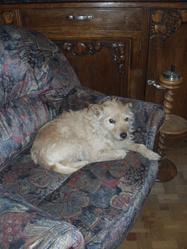 Joss, chien Berger d'Islande