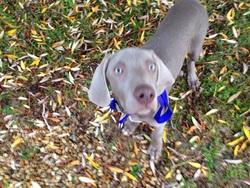 Joss, chien Braque de Weimar