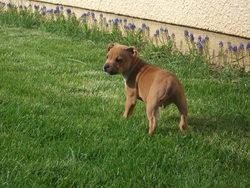 Joss, chien Staffordshire Bull Terrier