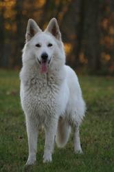 Joubia-Meiko, chien Berger blanc suisse