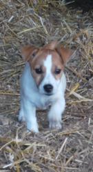 Jouda, chien Jack Russell Terrier
