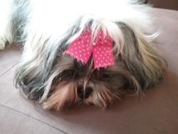 Jouflette , chien Shih Tzu