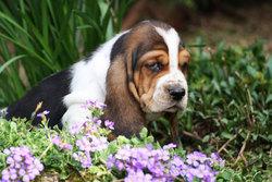Jouky, chien Basset Hound