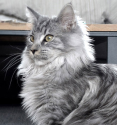 Joulia, chat Maine Coon