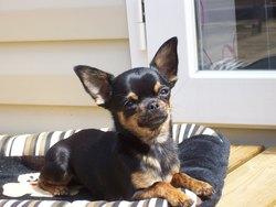 Jouna, chien Chihuahua
