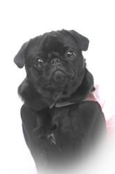 Joupy, chien Carlin