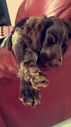 Jouxa, chien Chien d'Oysel