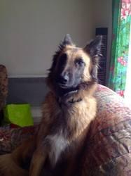 Jouya, chien Berger belge