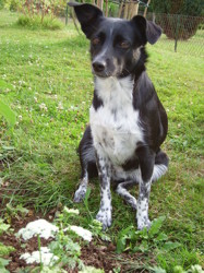 Jovia, chien Border Collie