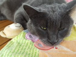 Jox, chat Chartreux