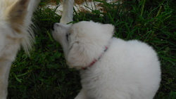 Joy, chien Berger blanc suisse