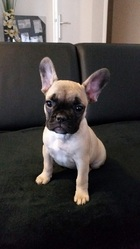Joy, chien Bulldog