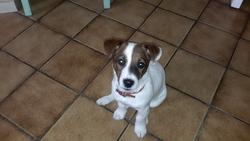 Joy, chien Jack Russell Terrier