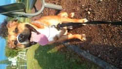 Joy, chien American Staffordshire Terrier