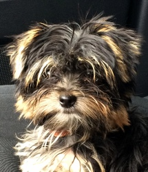 Joy, chien Yorkshire Terrier
