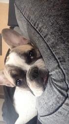 Joy, chien Bouledogue français
