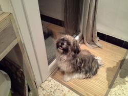 Joy, chien Lhassa Apso