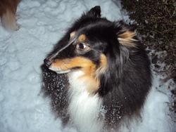 Joy, chien Berger des Shetland