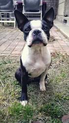 Joy, chien Terrier de Boston