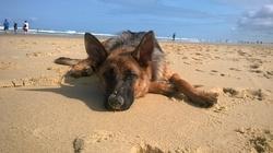 Joy, chien Berger allemand