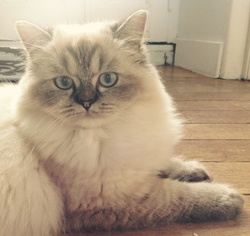 Joy, chat Birman