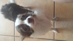 Joy, chien Chihuahua