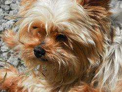 Joy, chien Yorkshire Terrier