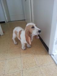 Joy, chien Basset Hound