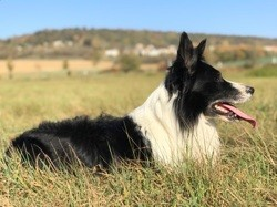 Joy, chien Border Collie