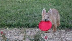 Joy, chien Cairn Terrier