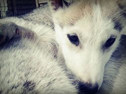 Joy, chien Husky sibérien