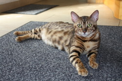 Joy, chat Bengal