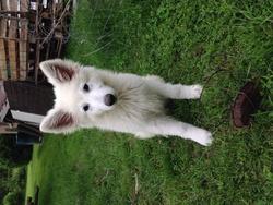 Joy, chien Berger blanc suisse
