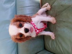 Joy, chien Cavalier King Charles Spaniel