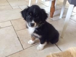 Joy, chien Berger australien