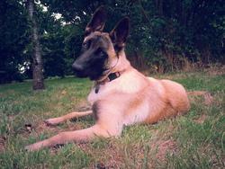 Joy, chien Berger belge