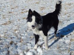 Joy, chien Border Collie