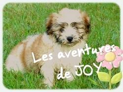 Joy, chien Bichon havanais