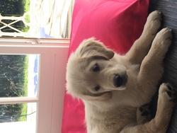 Joy, chien Golden Retriever