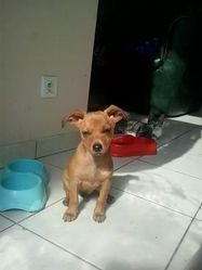 Joy, chien Pinscher