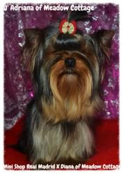 Joy Adriana Of Meadow Cottage, chien Yorkshire Terrier