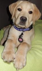 Joy-Boy, chien Labrador Retriever