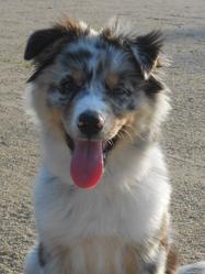 Joya, chien Berger australien