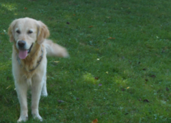 Joya, chien Golden Retriever