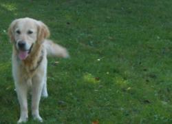 Joya, chien Golden Retriever