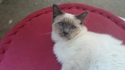 Joyau, chat Birman