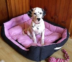 Joyce, chien Dalmatien