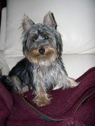 Joyce, chien Silky Terrier