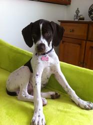 Joyce, chien Braque français