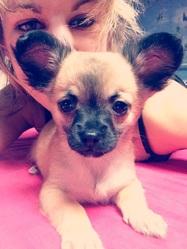 Joyce , chien Chihuahua